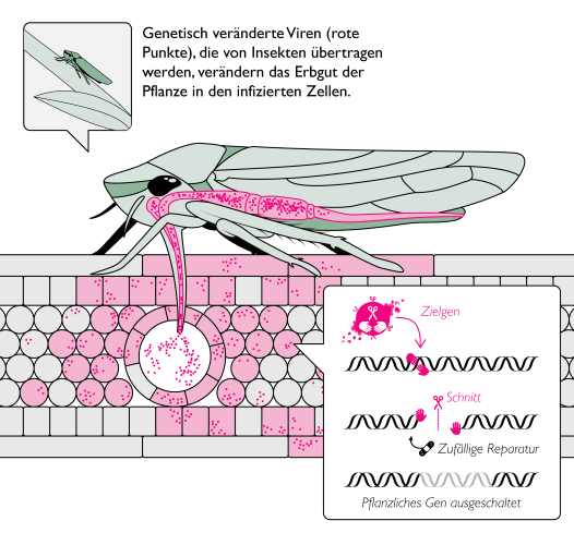 Querschnitt eines Insekts, das künstlich veränderte Viren in eine Pflanzenzelle einbringt, wo sie sich verbreiten und Genomediting betreiben - Grafik: Derek Caetano-Anolles