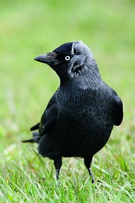 schattenblick v gel 744 vogel des jahres 2012 die dohle ist in brandenburg vom aussterben. Black Bedroom Furniture Sets. Home Design Ideas